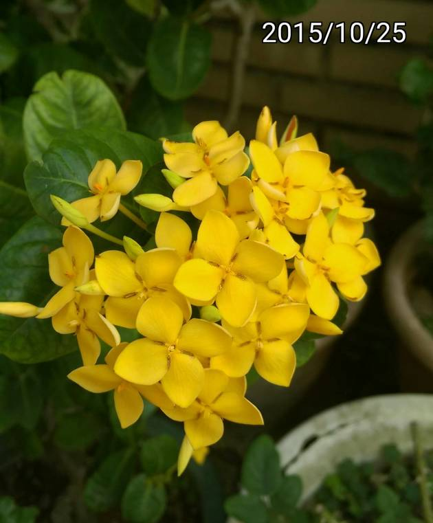 裂瓣黃色仙丹花、Ixora chinensis, yellow West Indian Jasmine